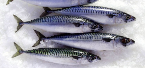 mackerel_wr-1